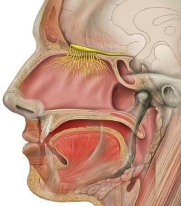 head_olfactory_nerve